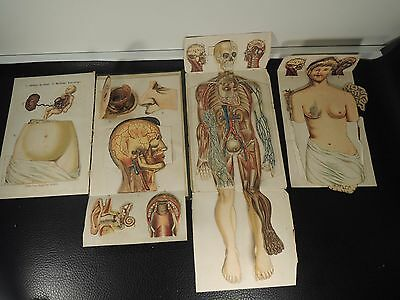 Anatomical Model of the Human body Print Chromolithograph c.-1897s