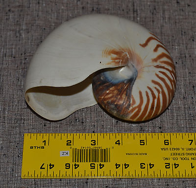 Large Genuine Tiger Nautilus Seashell Shell Beach Decor Does Have A Crack