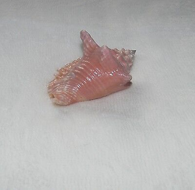 Coquillage de collection  (339)