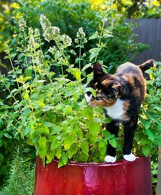 CATMINT Seeds Catnip Nepeta Cataria Attract Bee Companion ORGANIC