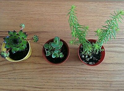 Collection of 3 hardy succulent plants.