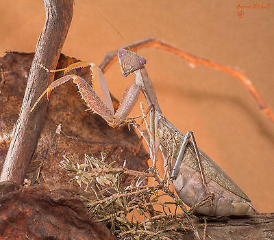 Praying Mantis - FERTILE OOTHECA (Egg) - Sphodromantis lineola (African Mantis)