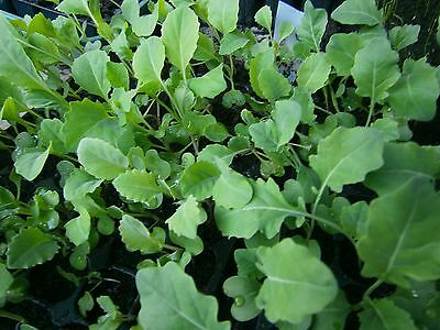 10 Cabbage Offenham 2 Plug Plants (Ready to Plant out Now)