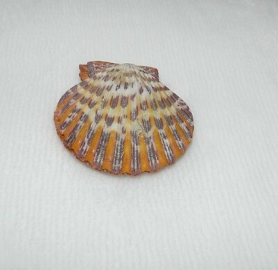 Coquillage de collection  (335)