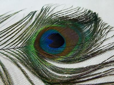 Feather Peacock Eye Feather About 30Cm (122)