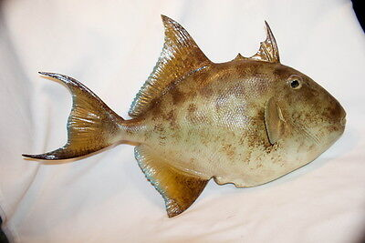 Vintage Taxidermy Large Trigger Buck Tooth Parrot Fish Bob Berry Original
