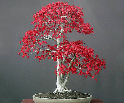 **UK SELLER** Red Maple Bonsai Tree x5 Seeds **Rare** 3 For 2 Offers