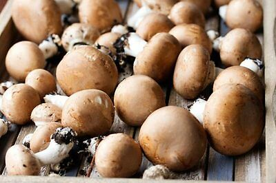 28gr/1(oz.) BROWN-BUTTON- DRY SEEDS for GROWING on COFFEE GROUNDS or SUPSTRATS
