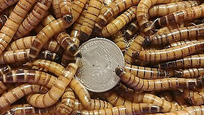 100 Large Superworms-Free Shipping-Live Arrival Guarantee