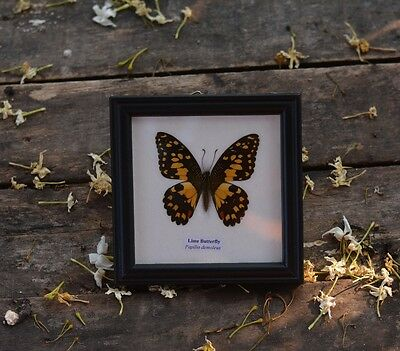 Real Butterfly Wings Lime Unmounted Papilio Demoleus Framed Taxidermy One