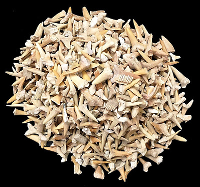 One Pound of Genuine Shark Teeth - Fossilized Moroccan Teeth! - Wholesale Bulk S