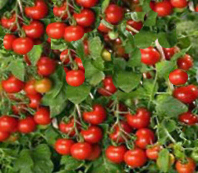 Tomato Tiny Tim 25 seeds great for pots hanging baskets very sweet heavy bearing