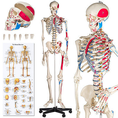 Human skeleton anatomical model teaching muscles painting + numbering + cover