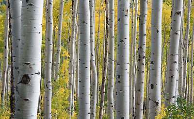 WALL MURAL PHOTO WALLPAPER XXL Forest Trees Tree Stalk Nature (JD-1319WS)