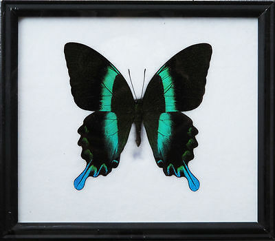 Real Rare Butterfly Big Green Blak Papiio Display Insect Taxidermy Wood Frame