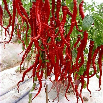 Long Red Pepper seed 30 Seeds Vegetable Spicy garden yard patio balcony Bonsai