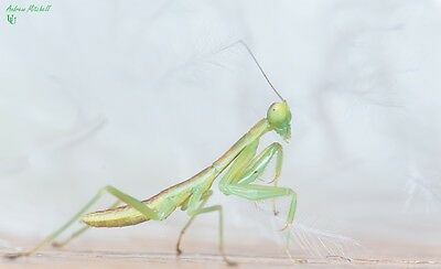 Praying Mantis - 1x Orthodera novaezealandiae (New Zealand Mantis)(2nd instar)x1
