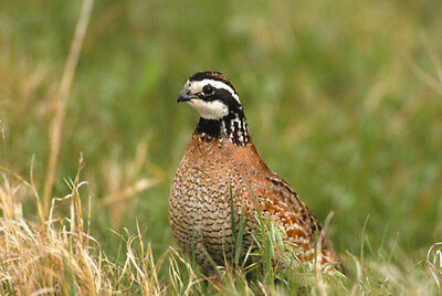 12 Northern Bobwhite Quail Eggs for Hatching-Farm Fresh-Fertile