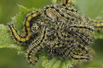 caterpillars SMALL TORTOISESHELL Butterfly x10 Aglais urticae school science