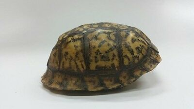 Beautiful Eastern Box Turtle Shell (Not Endangered)