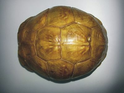 Huge, Green 3-Toed Box Turtle (Not Endangered)