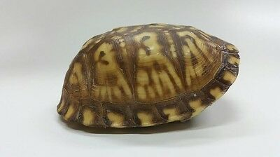 Striking Large Eastern Box Turtle Shell (Not Endangered)