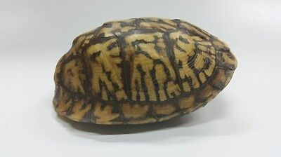 Stunning Eastern Box Turtle Shell (Not Endangered)