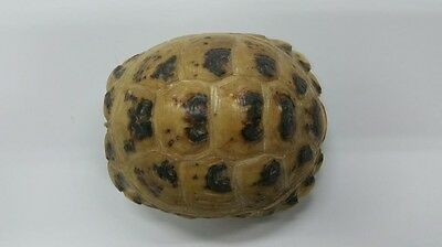 Adult Russian Tortoise Shell (Not Endangered)