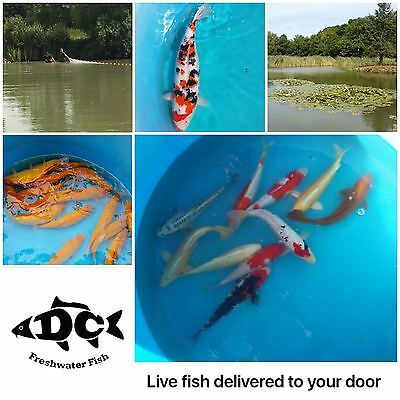 Pond Fish *Koi Carp*Tench*Rudd*Goldfish*Orfe*Bream*Roach