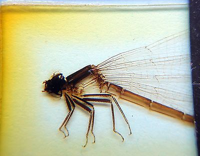 Early  DARLASTON  MICROSCOPE SLIDE of a Whole DRAGON FLY(female)
