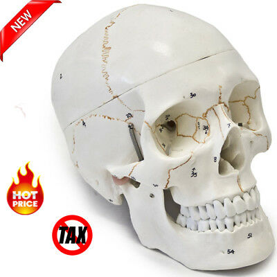 Medical Anatomical Anatomy Replica Human Skull Model Numbered Life Size 3-part