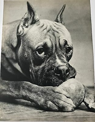 BOXER DOG LIKES BALL Vintage Original Full Page Book Print Photographed by YLLA