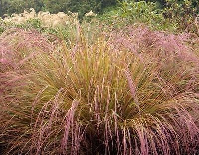 Stipa arundinacea - 1 PLANT - PHEASANT GRASS - FREE P/P WHEN YOU BUY 3+ ITEMS