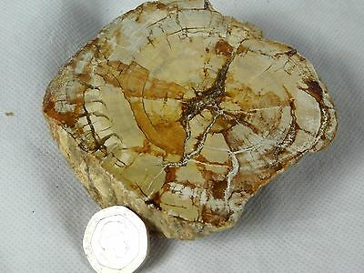 """11) Petrified Fossil Wood Branch - Home Decor - Great Gift Art 3.5"""" 232g  AAA+"""