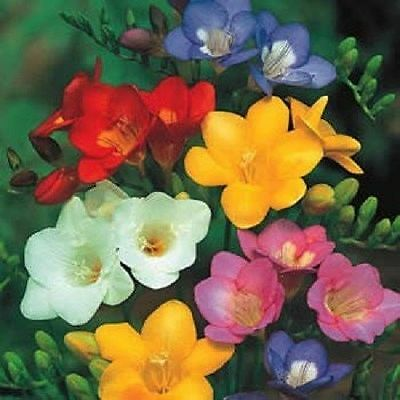 Freesia Champion Mikx Seed Bright Multi-coloured Exquisitely Fragrant Flowers