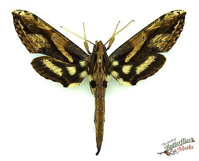 real moth Xylophanes ceratomioides SET x1 A1 Guatemala insect framing specimen