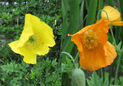 Meconopsis Cambrica Yellow Welsh Poppy Flower 500 Graines 500 Seeds 500 Semi