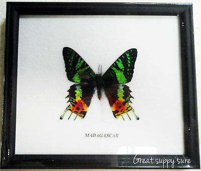 Real Madagascar Butterfly Display Insect Taxidermy Wood Frame