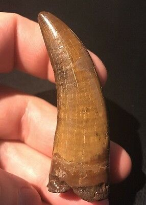 Tyrannosaurus Rex Tooth Fossil Claw Hell Creek Formation South Dakota