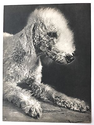 BEDLINGTON TERRIER Original Full Page Book Print Photographed by YLLA