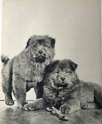CHOW CHOW DOGS Original Full Page Book Print Photographed by YLLA