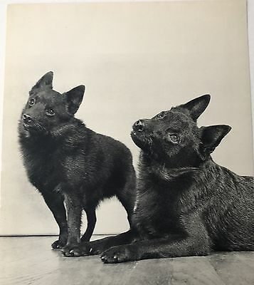 SCHIPPERKE DOGS Original Full Page Book Print Photographed by YLLA