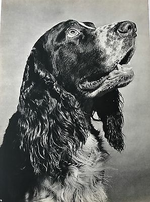 ENGLISH SPRINGER SPANIEL DOG Original Full Page Book Print Photographed by YLLA