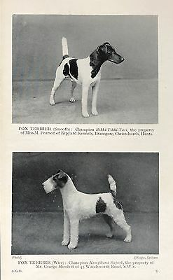 Vintage CHAMPION FOX TERRIERS--SMOOTH & WIRED Original Photo Book Print 1931