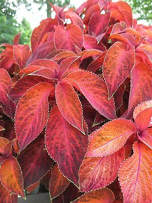 Coleus Wizard Sunset Seed Compact Shade Loving Annual Indoor Plant Beaut Colour