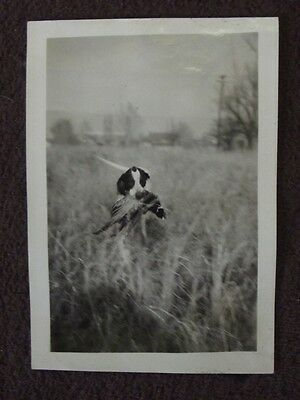 POINTER DOG WITH PHEASANT IN IT'S MOUTH Vintage 1930's PHOTO #2