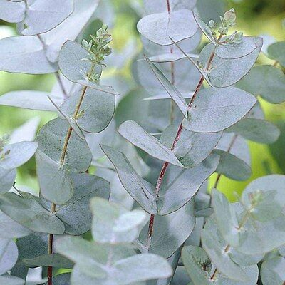 4x large Eucalyptus gunnii / Cider Gum, evergreen trees grown peat free 3ft+