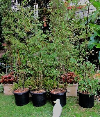 #1-Large BLACK BAMBOO Plant for pot, garden, balcony ex Mr.Bamboo Terrey Hills