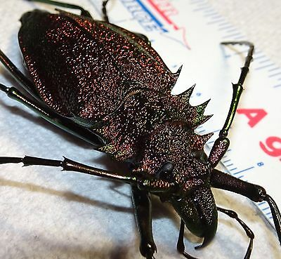 Psalidognathus friendi Dark Red Form Colombia #6 67mm Longhorn Beetle Insect