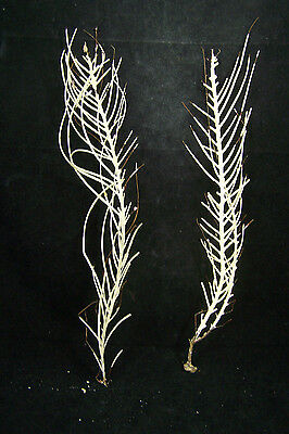 2 Natural White Sea Fans Sea Whip Feather Sea Fan 12  Inches Tall #4